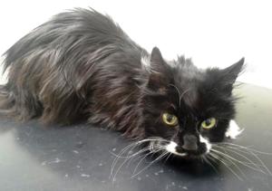 Katten Maja var tvungen att avlivas efter att hon blev lämnad utan mat och vatten, nu införs en ny lag för bättre djurskydd.