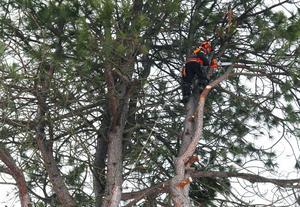 När Roger Andersson kommer upp i trädets krona ser man hur stor tallen är.