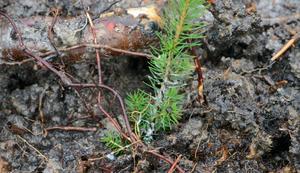 Om cirka 60-70 år kommer en annan maskin att kapa ner denna lilla gran som nyligen blev planterad.
