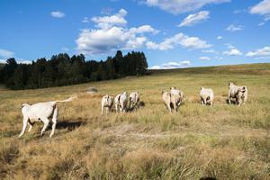 Kor på torr betesmark i Norge. Foto: Lise Åserud / NTB scanpix / TT