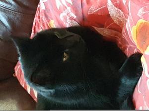 226) Den här Goa kissen heter sotis och är 3 år! Han är mycket barvänlig mjuk och go - mot oss. Ser precis ut som får sin. Till och med Jack i samma öra. sotis är skeptisk mot diskmaskinen. Och så tror vi att det är spöken i hallen, för han vill gärna ha sällskap mellan vardagsrum och kök! Foto: Sofia plantin
