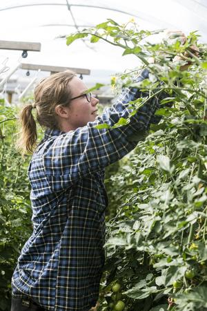 I kallväxthuset på 140 kvadratmeter mognar fem sorters tomater, både biffiga och nätta cocktail-varianter. Finley toppar några bortglömda plantor.