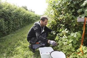 """Plockar. """"Skotten står tätt och måste gallras, det är lite svårplockat"""", säger Fredrik Lindroos, anställd på gården."""