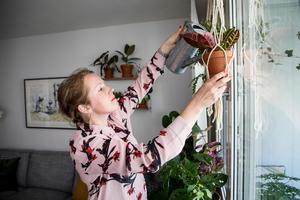 Therese Rosenvinge, som driver Krukväxtpodden, är särskilt förtjust i amplar. Växterna som var populära på 1970-talet är åter trendiga, här vattnar Therese en kroton.Foto: Christine Olsson / TT