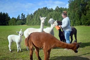 Så här nära alpackorna kommer Sara Gjerdet nästan bara när hon lockar med pellets.