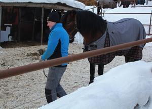 Magnus O Jonsson tar ut Hallsta Vinnex lillebror Hallsta Goodwin från hästhagen.