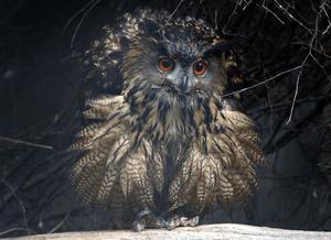 Ugglor och andra skogslevande fågelarter har i stor utsträckning rödlistats. WWF har olika tips för hur flora och fauna ska skyddas. Foto: Frank Augstein.