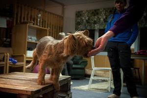 Hunden Sheldon är en australiensk terrier och är på kursen tillsammans med matte Jenny Nilsson.
