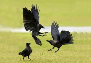 Det gäller att stå på god fotmed kråkorna, då de aldrig glömmer ett ansikte och vet precis vem de kan lita på och vem som utgör ett hot.