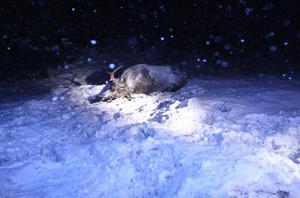 Vintervädret har medfört fler viltolyckor på järnvägsnätet, med trafikstörningar som följd. Foto: Roger J Karlzon / TT