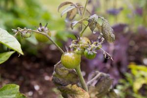 Malin Sjöström har fått upp ögonen för att odla grönsaker, och ute i trädgården växer bland annat tomater och majsplantor.