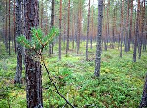 Skogsfastigheter som ligger nära en tätort är populära. Arkivbild.