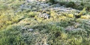 Frost i gräset i Ränningsvallen. Foto: Olle Larsson