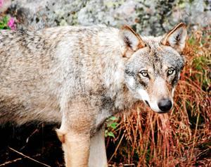 Länsstyrelsen har beslutat om jakt på sex vargar i Kölstareviret. Foto: TT
