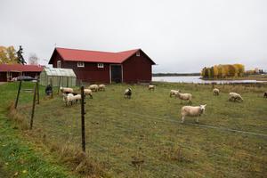 Mattias och Michaela Åhlberg äger sex hektarmeter mark och har ansökt om ett rovdjursstängsel till alla hagar där fåren går.