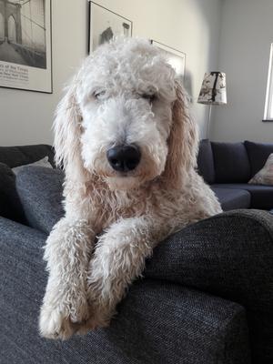 Om bilden: Svea är världens gladaste lilla tjej och hänger gärna i soffan i väntan på snön.  Svea blir 1år 14jan och är en blandning mellan kungspudel och Golden retriever. Foto: Emma Lagberg