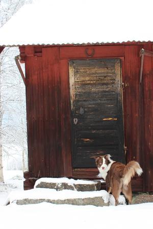 Om bilden: Första snön är något speciellt. Den perfekta julklappen för vår härliga valp Cosmos. Han älskade att plöja igenom snömassorna i Enviken, Dalarna på julafton. Han är 9 månader gammal och är en blandning av Border collie och Australian sheperd. En busig och enormt gosig familjemedlem som älskar att leka med allt och alla. Foto: Monica Forsberg