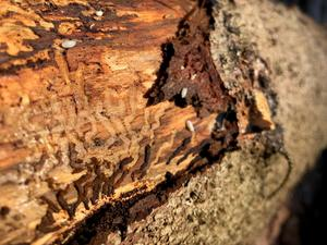 Karakteristiska spår. Granbarkborrens larver gnager sig ut från kammaren under barken där de kläckts och lämnar förgrenade spår. Utanpå granens stam syns bara små hål där de färdigutvecklade barkborrarna flugit ut.