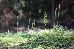 Mitt självporträtt och mitt hem. Jag är Knärot, en sällsynt orkidé som bor i Sörbyskogen. EU skyddar mig genom en lag men Örebro kommun vill avverka mitt hem och bygga hus och industrier. Hjälp mig att bo kvar här. Foto: Anna-Lena Winnerstam.