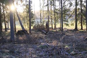 I skogen finns det flera träd som är synligt påverkade av granbarkborren.