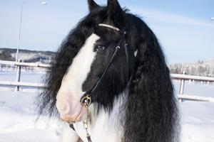 Hästen Ben som ägs av Emmy Eriksson.