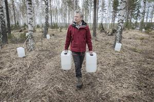 """För 100 000 liter sav behövs 800 björkar. Efter tappning får björkarna vila i fem år innan man kan gå tillbaka. Det gäller att markägaren inte sågar ner träden under tiden. """"Man blir lite ledsen när folk sågar ner sina björkar"""", säger Peter Mosten."""