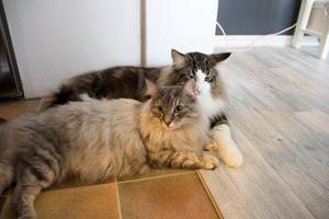 Hunden har parats med honan Ohlala, som ägs och bor hemma hos Nicklas Liljehammar och Linda Karlsson, kattungarna kommer att födas om några veckor.