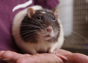 Västeråsaren får inte ha några råttor för Länsstyrelsen. (Råttan på bilden har dock ett helt annat hem.)