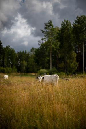 Svenska fjällkor, lite mindre i storleken och vana med människor.