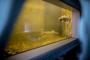 Laxen i akvariet tas från laxtrappan som ligger i anslutning till akvariet. Inne i akvariet simmar just nu sju stycken laxar och den största väger 17 kg. Fisken byts ut med jämna mellanrum.