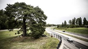 Området Tallen har fått sitt namn efter det här trädet nära E16.