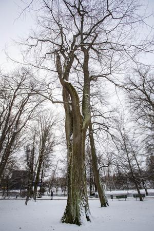 Eftersom trädet tappar sin förmåga att leda vatten och näring kan barken börja fläkas upp på grund av att det torkar ut.