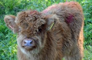 Borlänge kommun äger 107 djur av rasen highland cattle