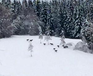 Även förra året sågs mycket älg i området. I början av december sågs de här älgarna i Grevbo.