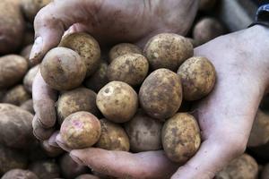 Andelen mark där man odlar potatis ekologiskt minskar i Dalarna.