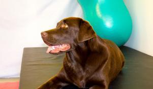 Labradoren Ninja ett år. Pigg och busig och följer matte vart hon än går.