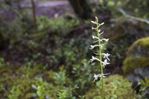 Nattviolen blommar under juni och juli. Blomman har en behaglig och ganska stark doft, särskilt på natten.