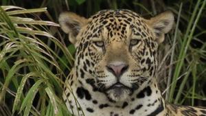Jaguar fotograferad i Pantanal.