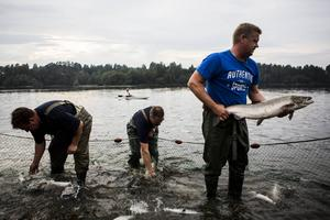 Börje Nyberg, Börje Sahlin och Anders Forslund visar upp fiskarna. Den största laxen vägde omkring tio kilo.
