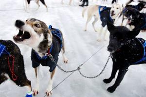 De ivriga hundarna kan varken vara tysta eller stå stilla innan start.