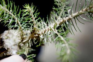 sandad. Conniflex-metoden innebär att plantorna täcks av vitt vattenbaserat lim. Sedan besprutas de med sand som bildar ett skal på stammen. Skadedjuret snytbaggen, som förstör unga och känsliga barrträdsplanter genom att gnaga bort barken, kan då inte gnaga igenom skyddsvästen av sand och lim. Skyddet håller i två år, lika länge som plantorna är särskilt känsliga.