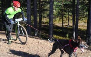GULDMEDALJÖR. Tobias Björklund med hunden Rambo in action på väg in mot upploppet.FOTO: OLA MOPERS