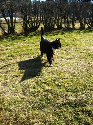 snön har smält och våren är påväg och katten har fått vårkänslor. Passade på att fotografera vår katt Molle när han spatserade på gräset. Foto: Sofia Norlund