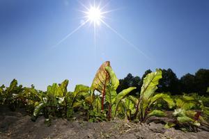 Skördetid. Juli innebär skördetid för bland annat rödbetor, bönor och morötter. Regnet i juni har gjort jorden bördig.