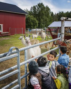 Lamorna hälsade besökarna välkomna. För många av barnen var det första gången de besökte en bondgård.