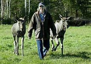 Foto: LEIF JÄDERBERG Bananer? Då kommer Dennis och Douglas. Bananer är utmärkt lockbete i älgskogen. Åtminstone om älgarna är födda  i hägn och vana vid människor. Det var ett osvikligt knep när ägarna Bo och Gunilla Brodin skulle visa upp sina nykomlingar på Kybacka gård i Rörberg.