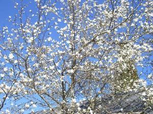 MAGNIFIK MAGNOLIA. Den senaste tidens värme har gjort att de vita blommorna fullkomligt exploderat på stjärnmagnolian.