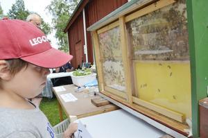Bin kryper runt. I en stängd låda från en bikupa arbetar bin i ett bisamhälle. Mattias Gyllström tittar närmare. Foto: Katarina Hanslep