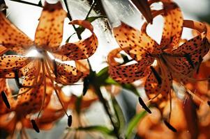 Tigerliljor blommar i hundratal, kanske tusental, i Berglunds sensommarträdgård.