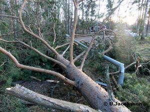 Omkring 15 tallar blåste omkull på Gullgravsvägen.